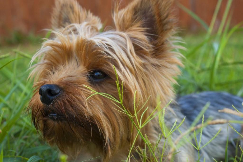 Terrier dog groups