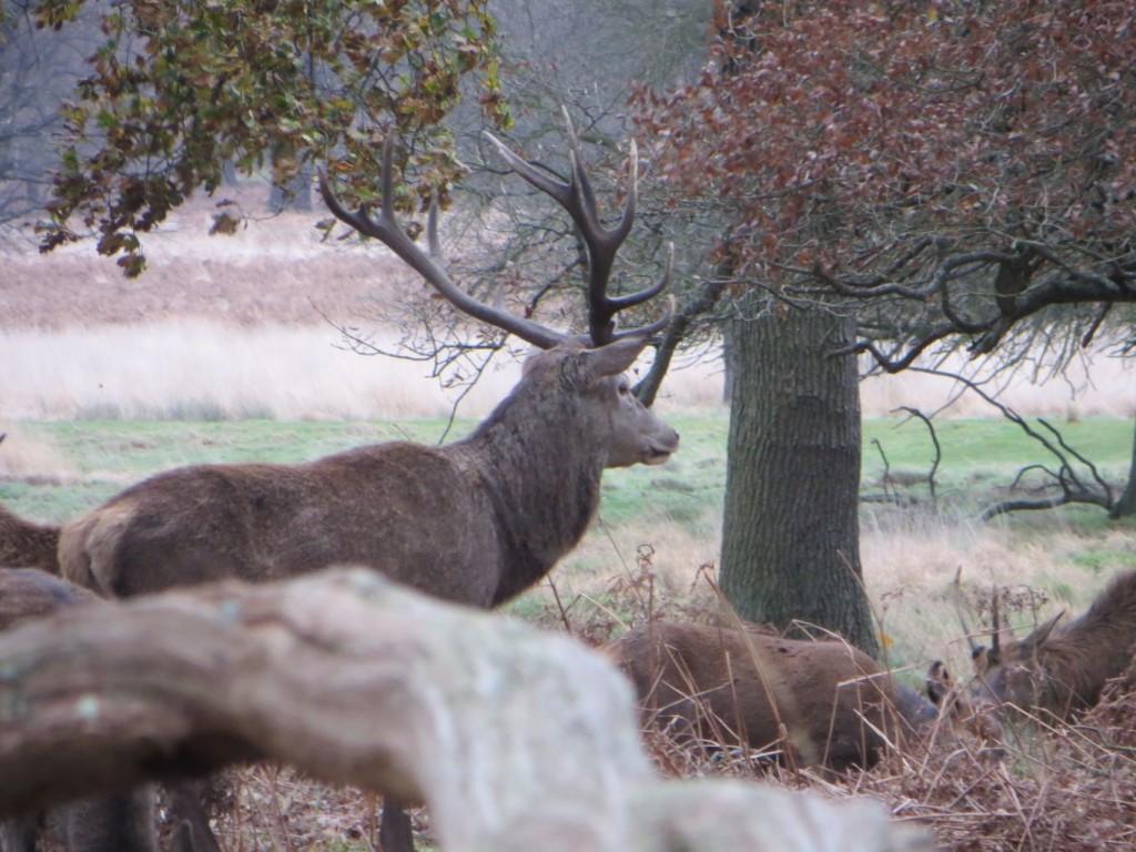 red deer alpha stag