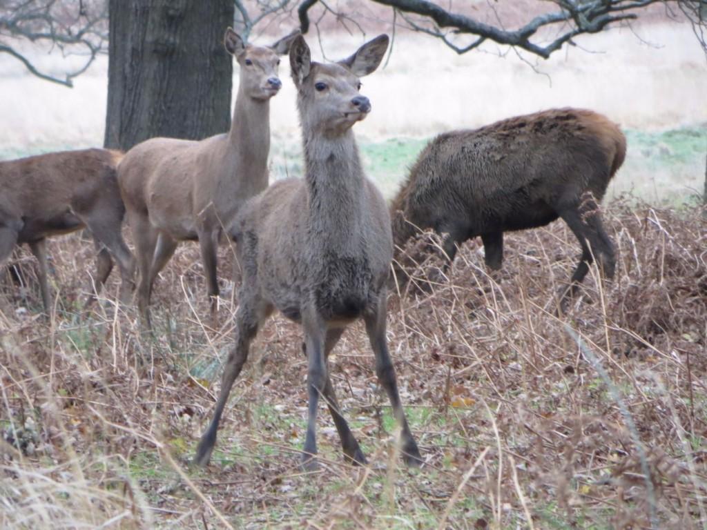 A red deer calf ready to run