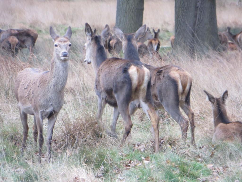 red deer hind group