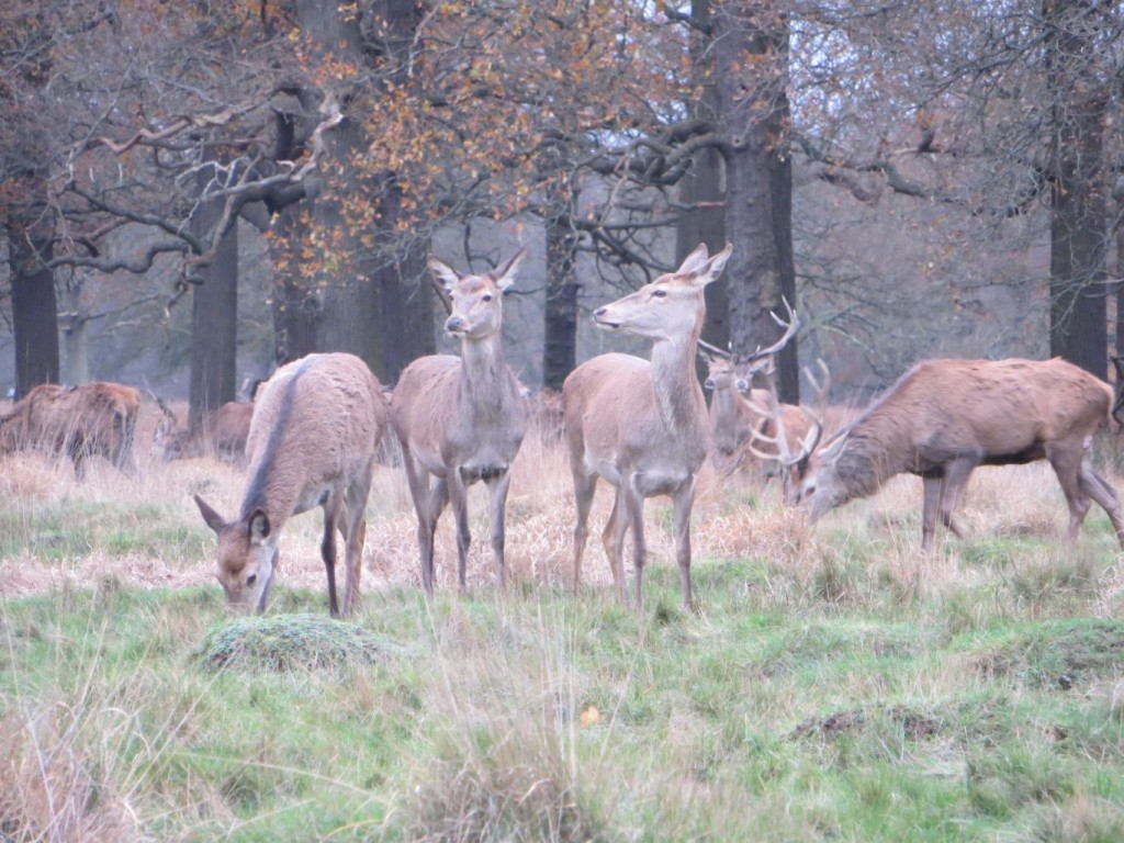 three red deer hinds and one stag