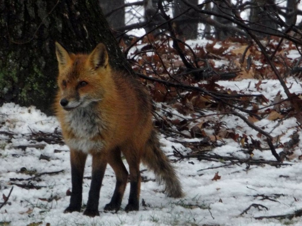 Red fox with fluffy hair and standing on snow