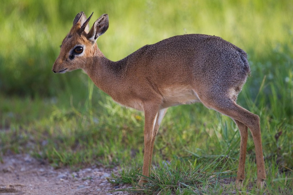 Female Dik-dik species