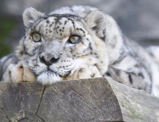 Oldest snow leopard enjoying a lie down