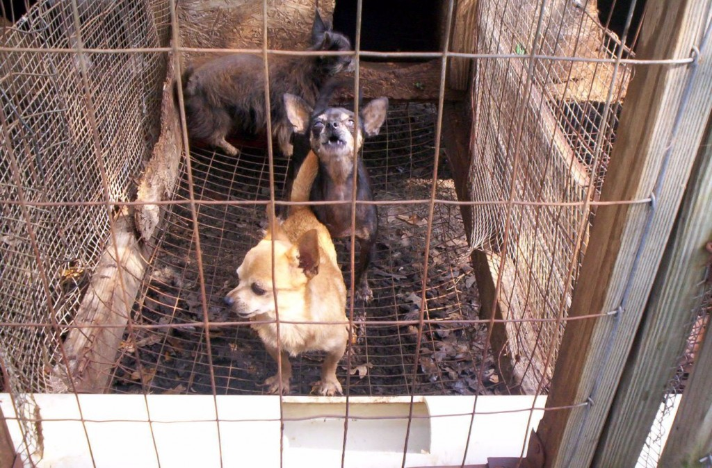Multiple puppies living inside horrible cage at puppy farm