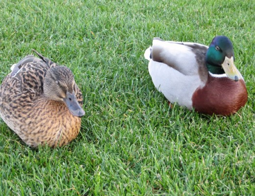 A male and female mallard duck sitting