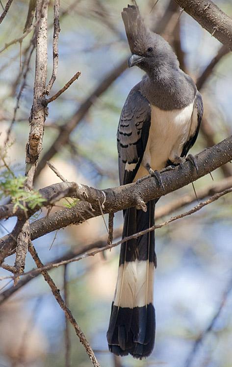 Goaway bird sitting on a tree branch species