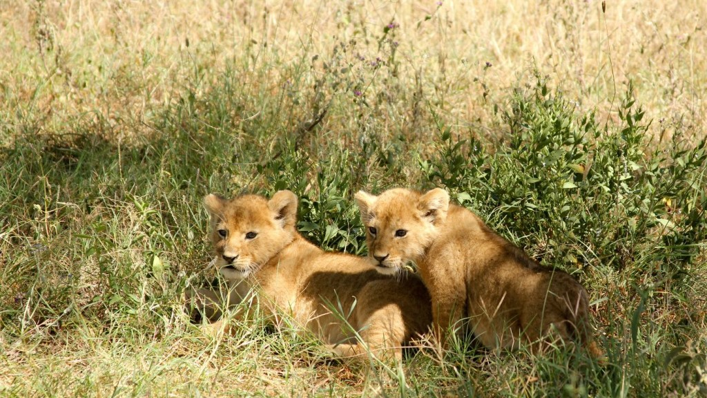 Two lion cubs sitting on the grass