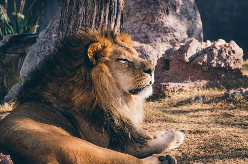lion enjoying the sun