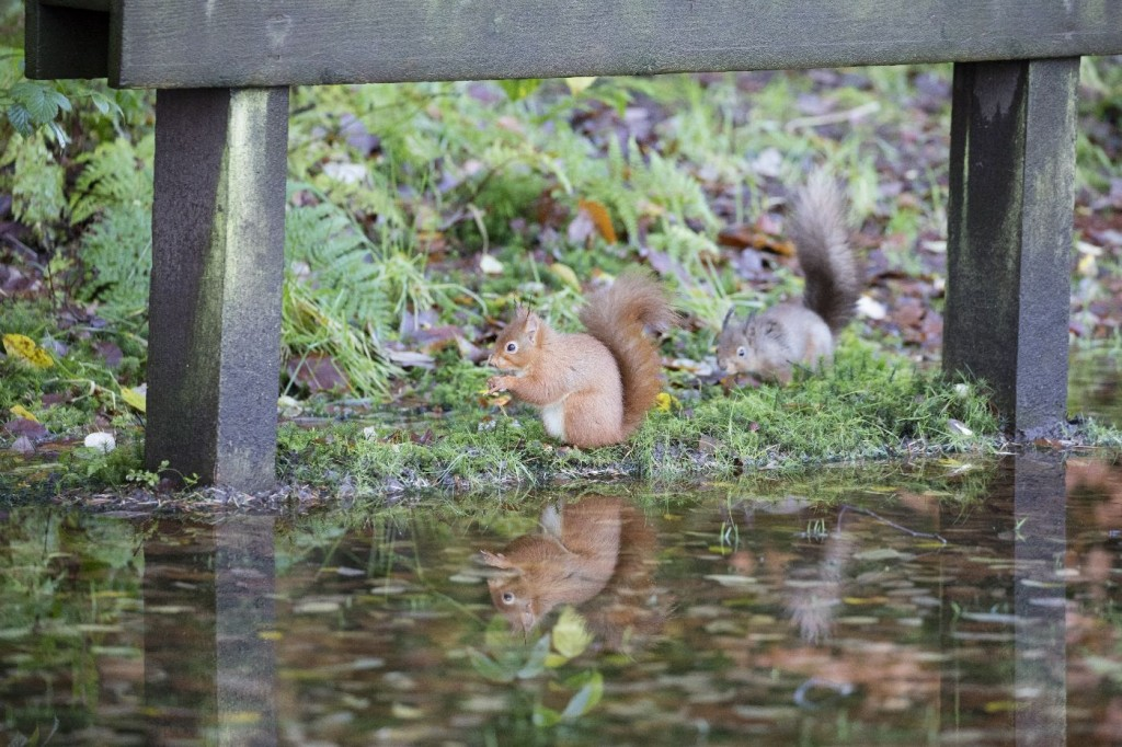 competition between the grey squirrel and red squirrel