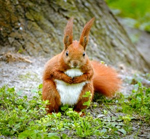 Red squirrel looking at the camera
