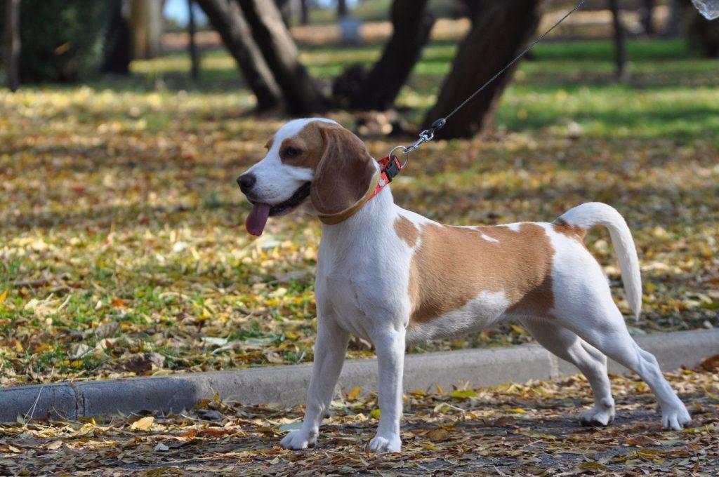 Hound dog groups