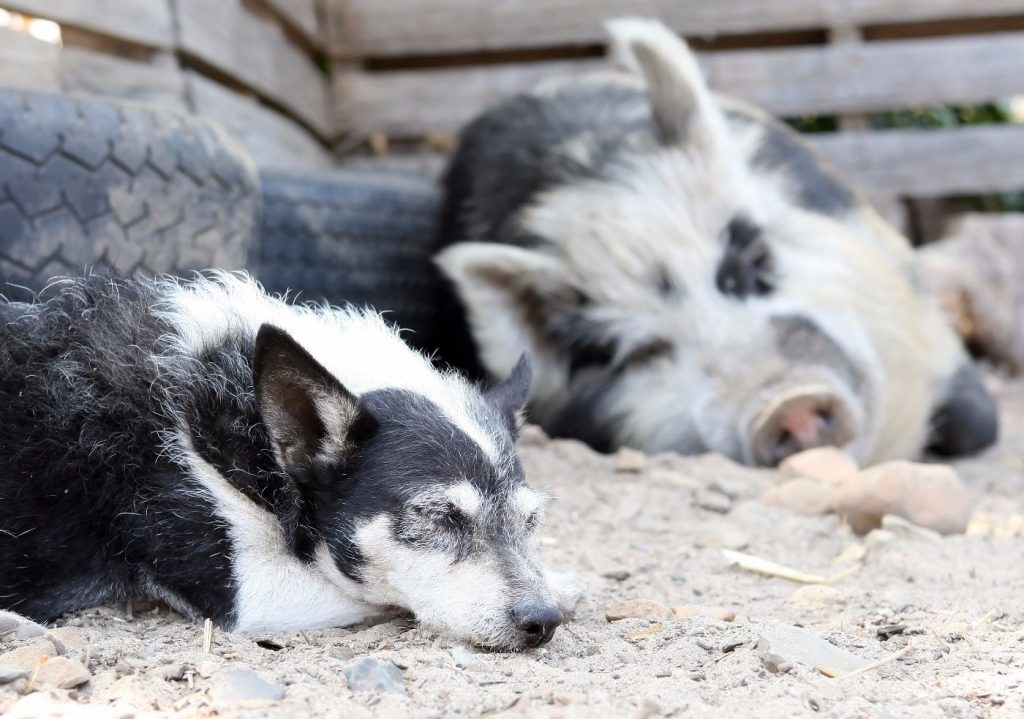 pig and dog napping at animal rescue centre