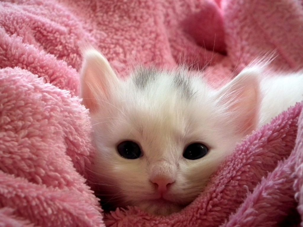 white kitten with pink towel