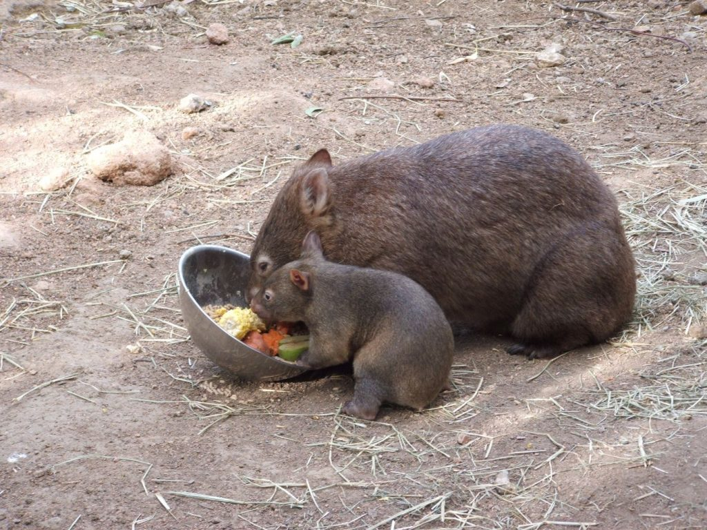 Southern hairy-nosed wombat mother and baby eating