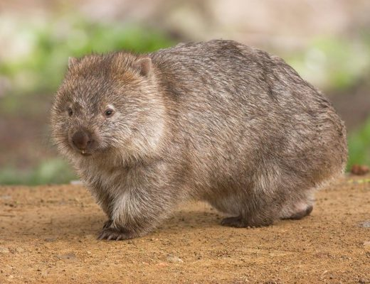 The bare-nosed wombat