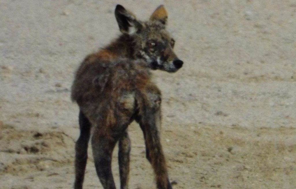 Red fox with mites