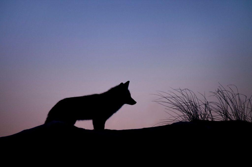 Red fox at dusk