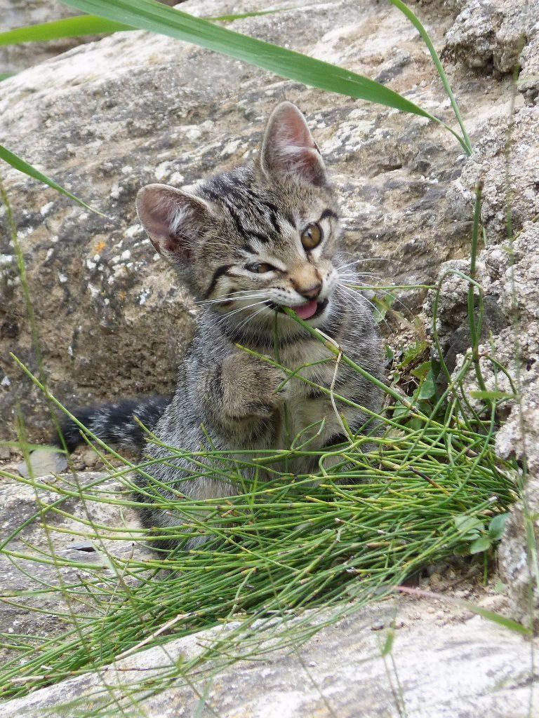 kitten eating grass