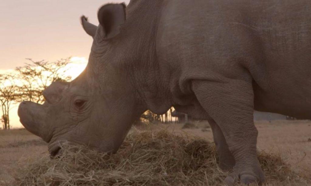 Fatu the Northern white rhino - eating grass