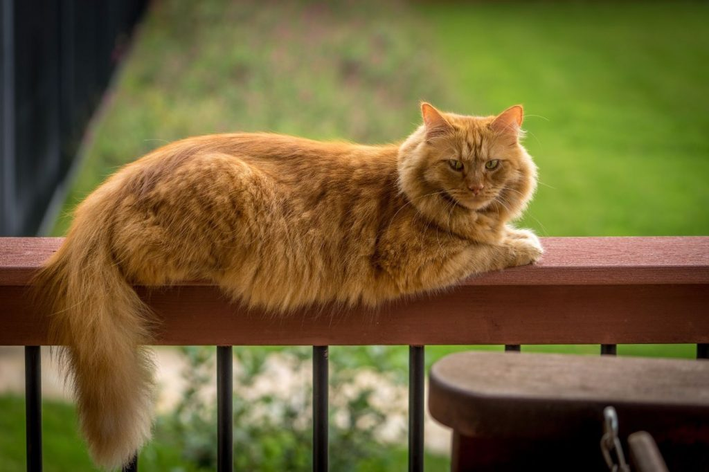 Orange cat outdoors