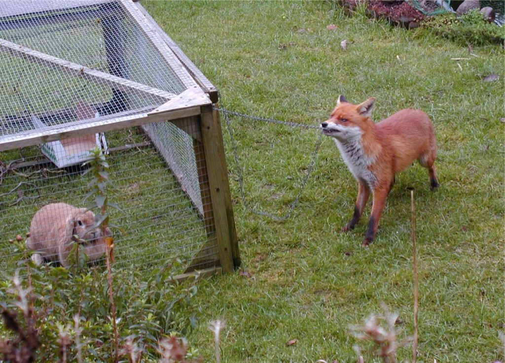 Red fox with a rabbit