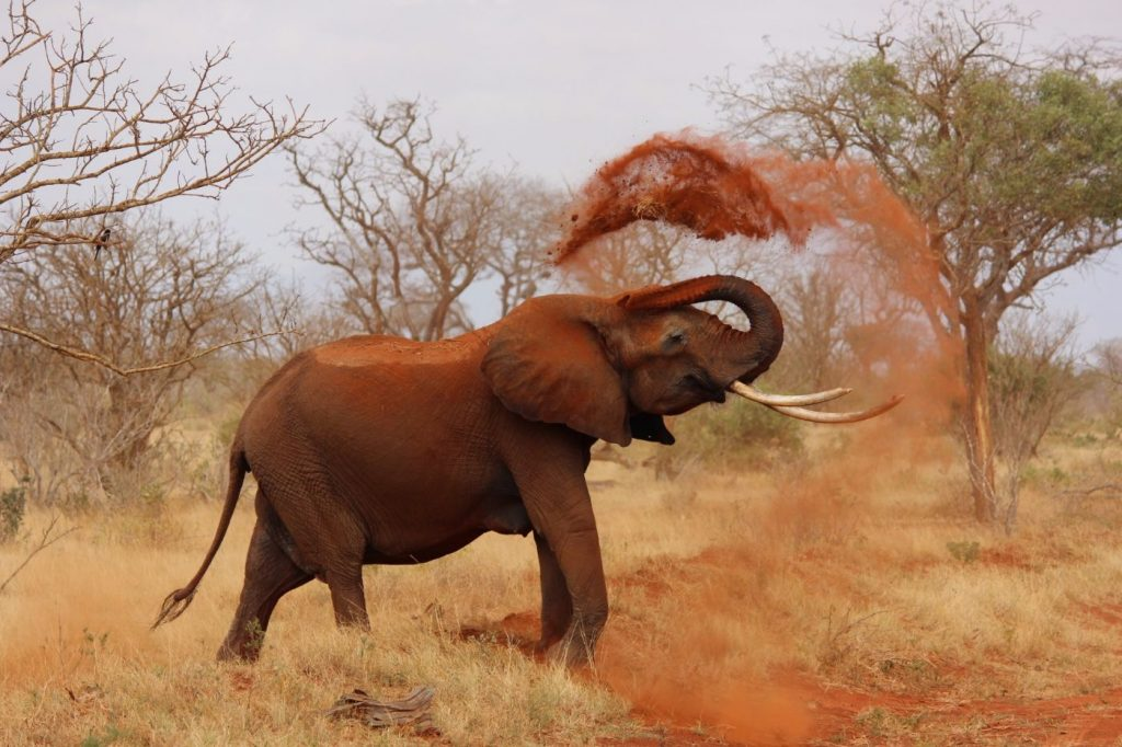 African bush elephant using dirt