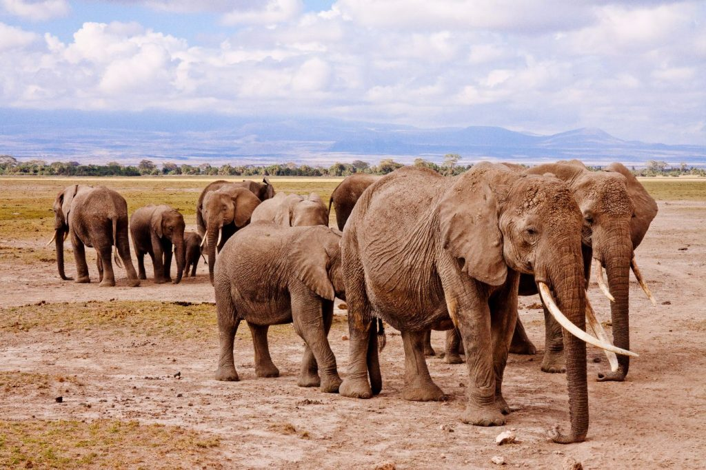African bush elephant herd