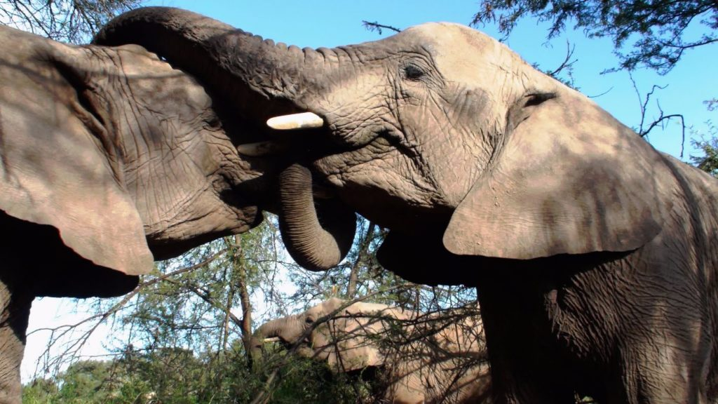 African bush elephant after mating