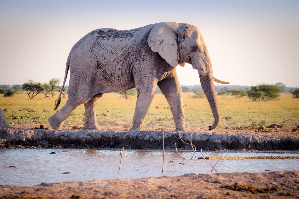African bush elephant using mud for protection