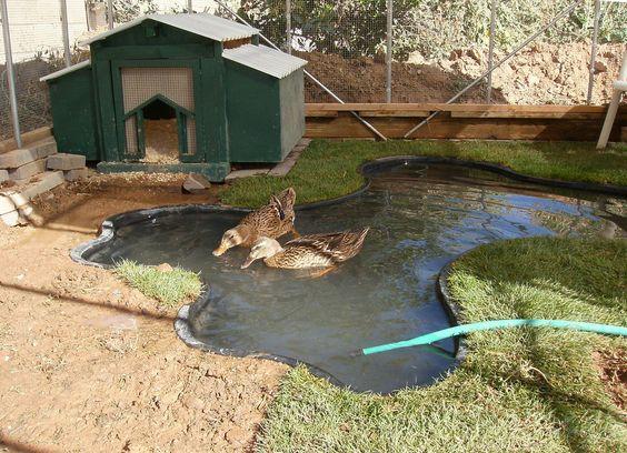 Pet ducks