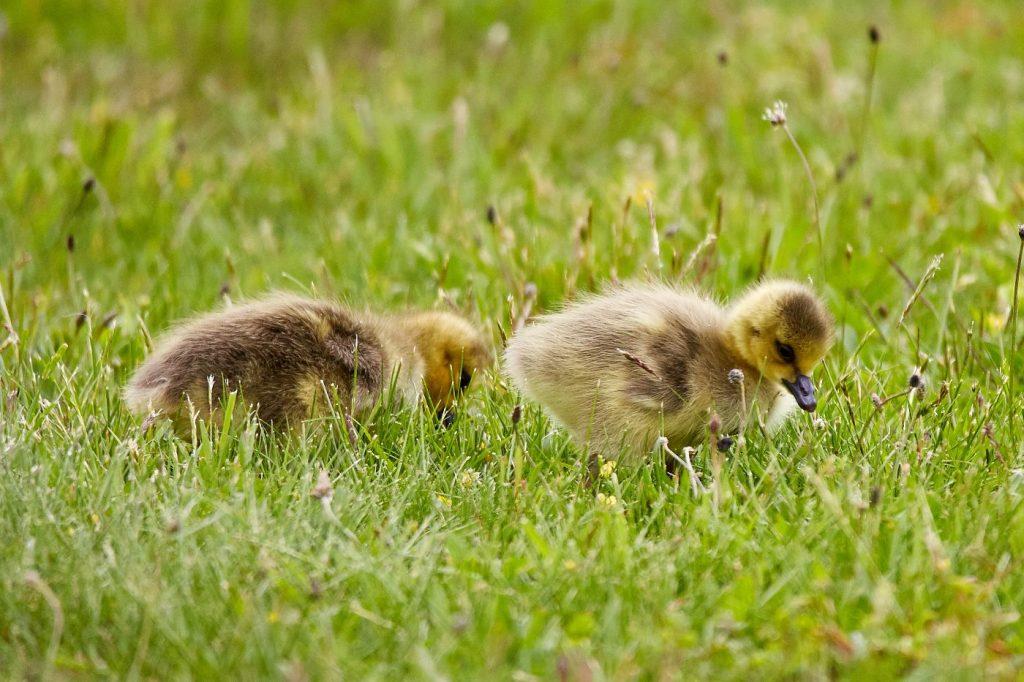 Pet duck