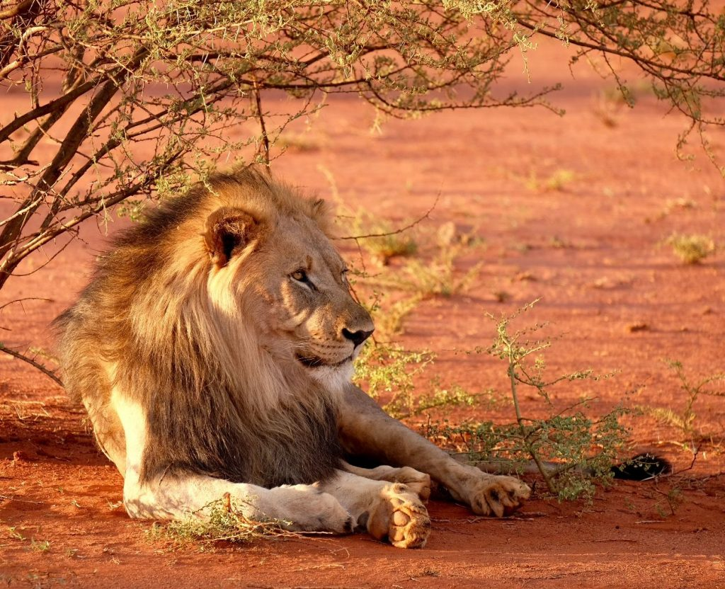 Male lion relaxing in the shade