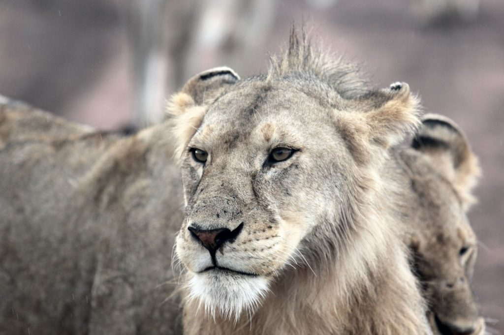 Young male lion mane