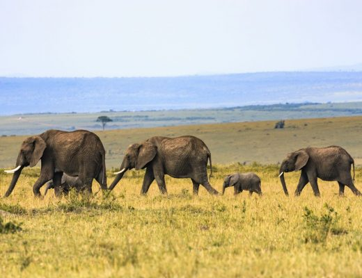 African bush elephant herd
